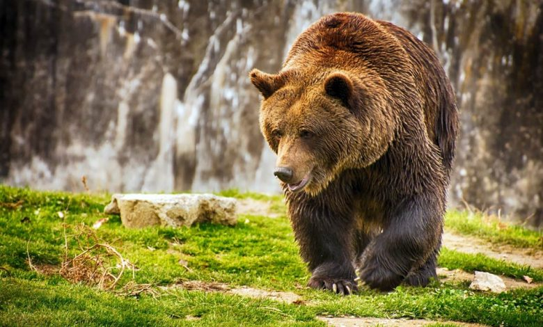 Photo of Brown bear (Ursus arctos)