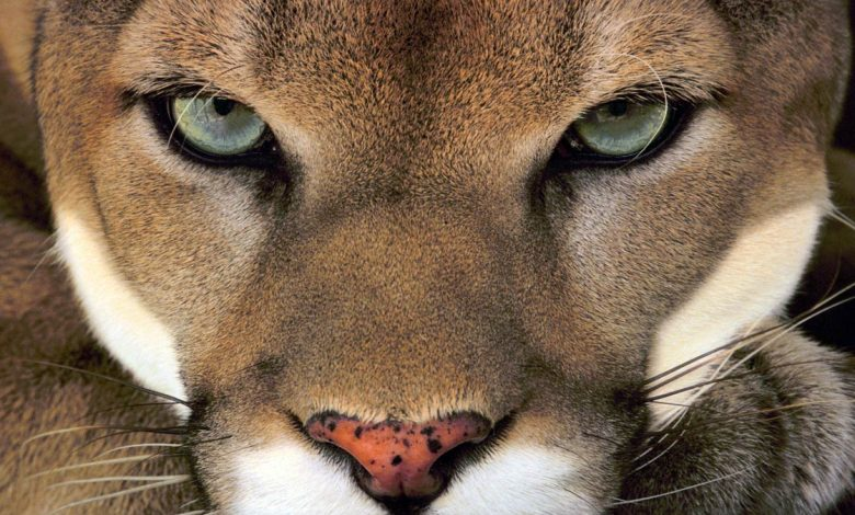 Photo of Cougar (Puma) – the largest meowing cat