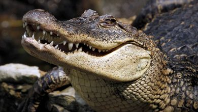 Photo of Crocodiles – the oldest living reptiles