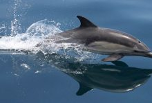 Photo of Dolphin – the best swimmer among mammals