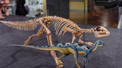 Photo of The fastest dinosaurs – Hypsilophodon