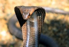 Photo of Cobras – characteristics and useful information