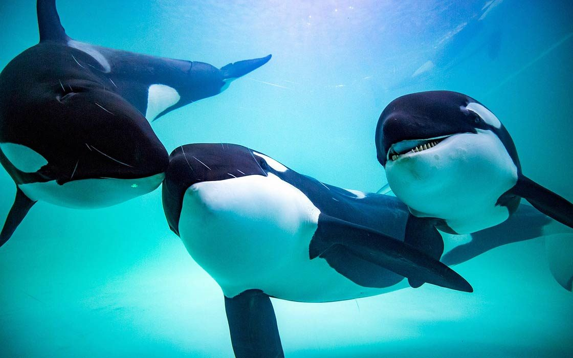 Orca, killer whale - the terror of the oceans ...