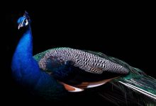 Photo of Peacock (peafowl) – the most beautiful bird