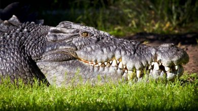 Photo of Saltwater crocodile (Crocodylus porosus)
