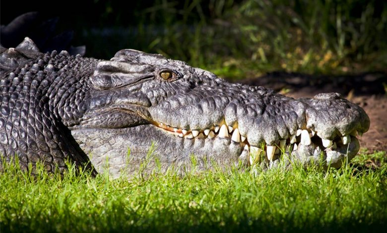 Photo of Saltwater crocodile (Crocodylus porosus)