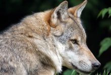 Photo of Wolf, gray wolf, grey wolf (Canis lupus)