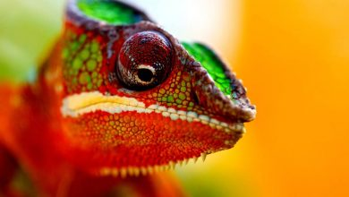 Photo of Chameleon (chamaeleon)