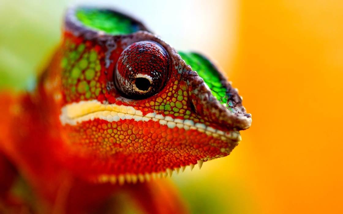 Photo of Chameleon (chamaeleon)