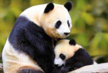 Photo of Giant panda – Panda bear, bamboo bear