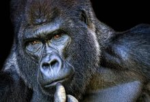 Photo of Koko – the smartest gorilla in the world