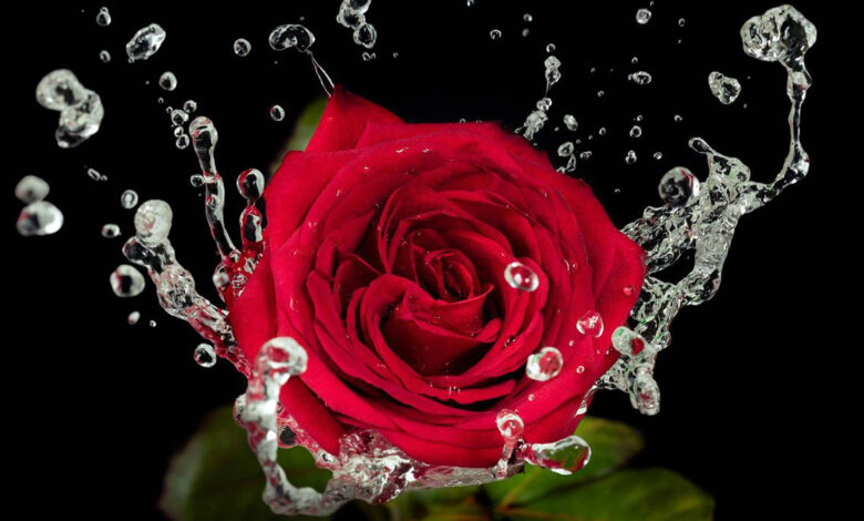 Photo of Roses – the history of the most beautiful flowers in the world