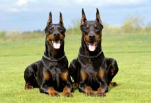 Photo of Doberman Pinscher – an elegant dog