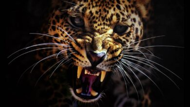 Photo of Man-eaters – lions, tigers and leopards