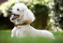 Photo of Poodle – very clever dog