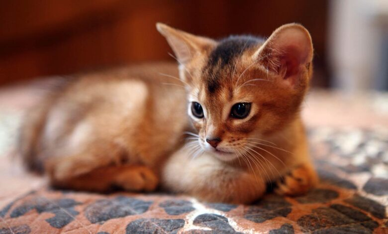 Photo of Abyssinian cat