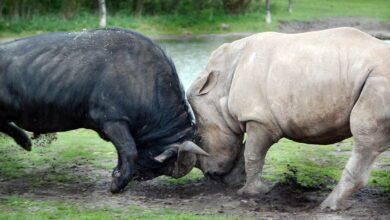 Photo of African buffalo – Cape buffalo (Syncerus caffer)