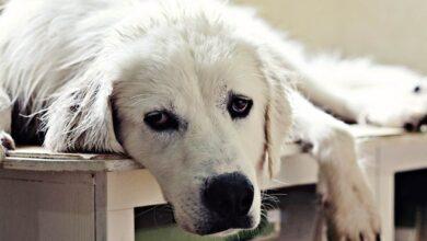 Photo of Akbash Dog, Akbaş