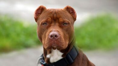 Photo of American Pit Bull Terrier (APBT)
