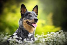 Photo of Australian Cattle Dog (ACD)