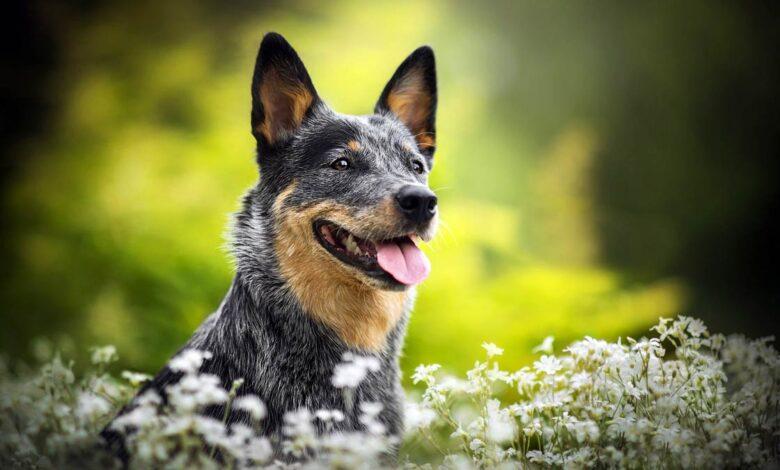 Photo of Australian Cattle Dog (ACD)
