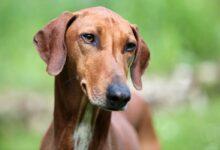 Photo of The Rarest Dog Breeds