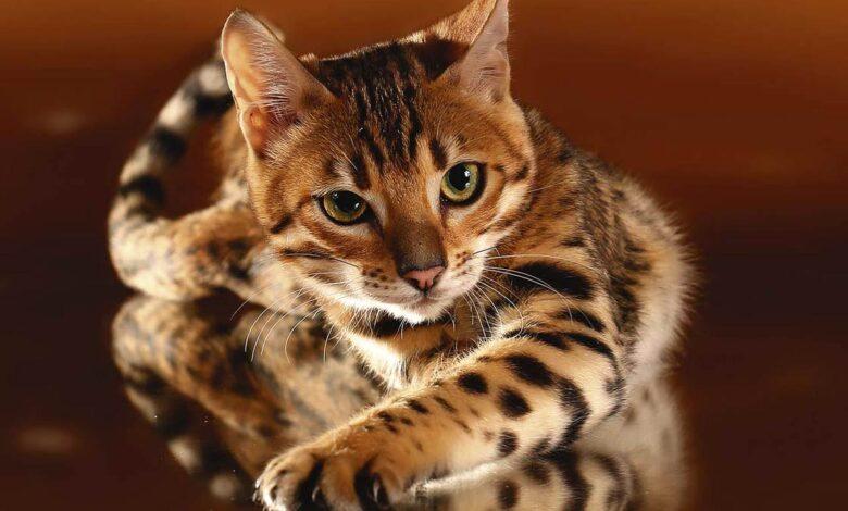 Photo of Bengal cat
