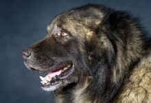 Photo of Caucasian Shepherd Dog