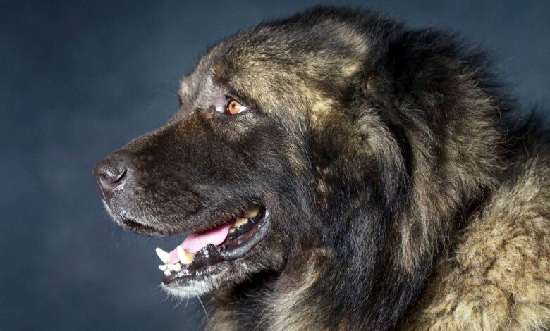 Photo of Caucasian Shepherd Dog