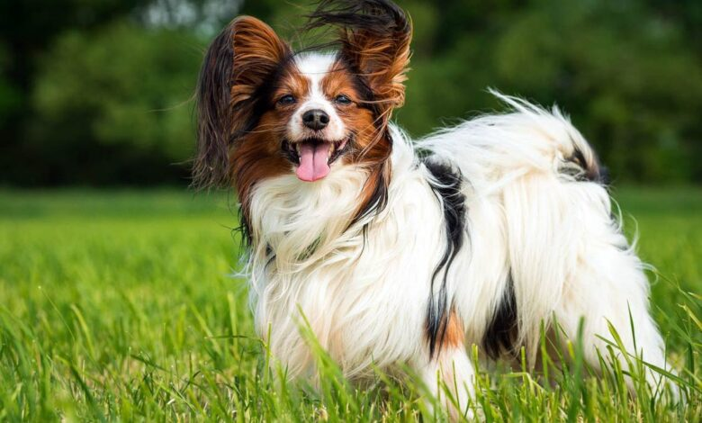 Photo of Papillon (Continental Toy Spaniel) and Phalène