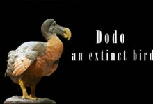 Photo of Dodo (Raphus cucullatus)