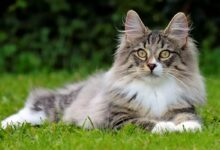 Photo of Norwegian Forest cat