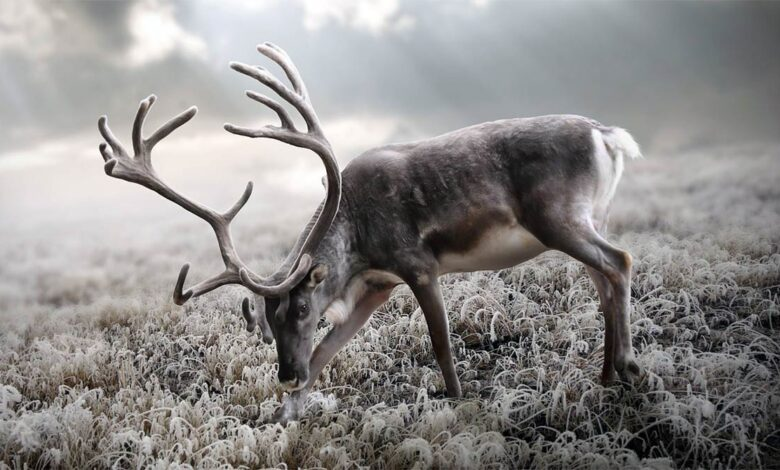 Photo of Reindeer and Caribou (Rangifer tarandus)