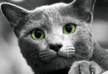 Photo of Russian Blue cat