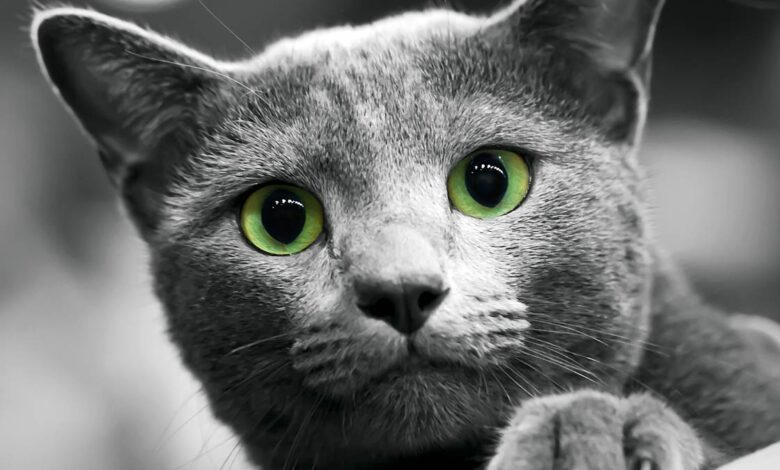 Photo of Russian Blue cat