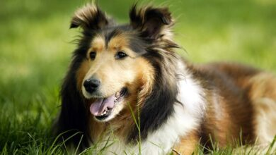 Photo of Shetland Sheepdog, Shetland Collie, Sheltie