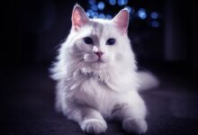 Photo of Turkish Angora, Ankara cat