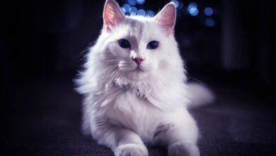 Photo of Turkish Angora, Ankara cat