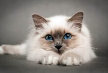 Photo of Birman cat