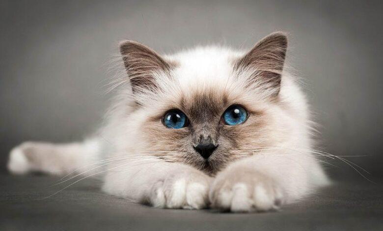 Photo of Birman cat