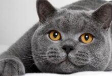 Photo of British Shorthair cat