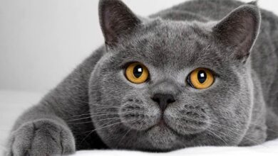 Photo of British Shorthair cat