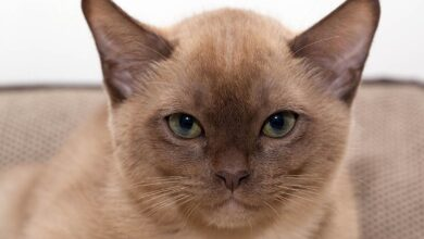 Photo of Burmese cat