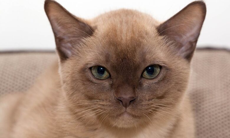 Photo of Burmese cat
