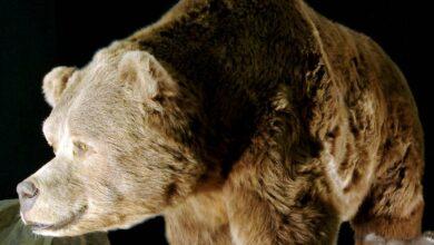 Photo of Cave bear (Ursus spelaeus)