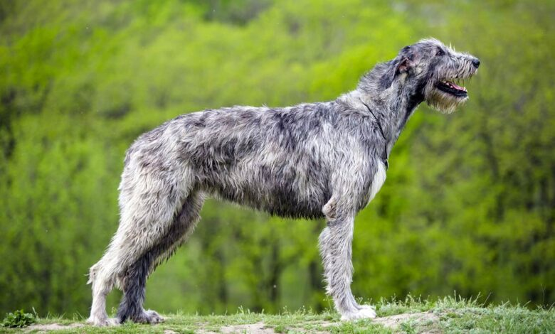 Photo of Irish Wolfhound – one of the tallest dogs