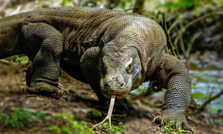 Photo of Komodo dragon – the largest lizard on Earth
