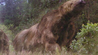 Photo of Megatherium (megathere) – elephant-sized sloth