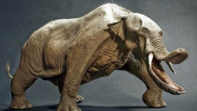 Photo of Platybelodon – an elephant without a trunk?