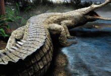 Photo of Rhamphosuchus – one of the largest crocodiles